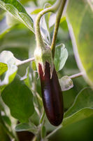 Eggplants are ripe among the leaves so green.