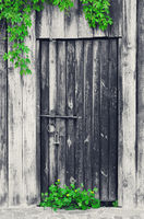 Old wooden door with vintage metal lock and green leaves