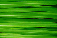 Lemongrass leaves background