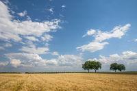 Walnussbäume (Juglans regia)Getreidefeld und Wolkenhimmel