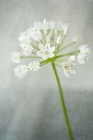 Neapel-Lauch (Allium cowanii) mit überlagerter Textur