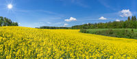 Curved, hilly, blooming rapeseed field in the sunshine