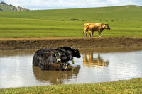 Yak family is chilling in a pond on a hot summer day, Mongolia