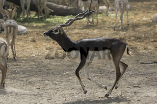 male blackbuck or Indian antelopey who runs around the herd in the zoo enclosure