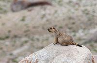 Marmot large squirrel, Ladakh, India