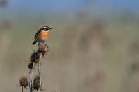 Whinchat in Hungary