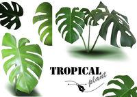 Tropical Monstera Leaves Set