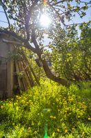 Wild garden with apple tree, portrait format.