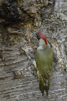 Green Woodpecker * Picus viridis * young chick in nest hole anticipating feeding adult