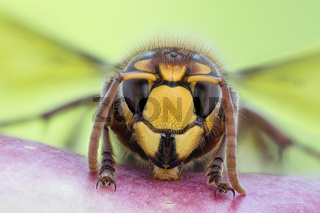 Hornisse, Vespa crabro, European Hornet - Detailed Macro Stack