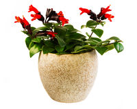 Isolated potted red lipstick plant