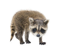 Baby Raccoon portrait on white background