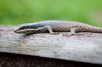 Small lizard in wooden handrail at Borneo