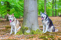 Two huskies sit together in beech forest