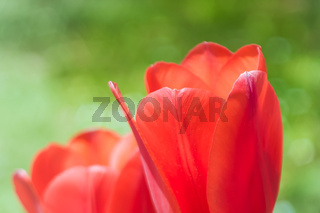 pair of red tulips
