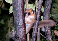 Night Portrait of the brown mouse lemur Microcebus rufus aka eastern rufous or russet in Ranomafana, Fianarantsoa, madagascar