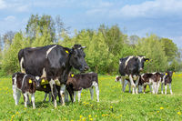 Many calves drinking from two  cows in dutch meadow
