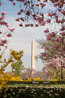 Washington Monument Surrounded by March Spring Flower Blossoms