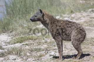 spotted hyena which does not stand on the bank of a dry river in the dry season in the savannah