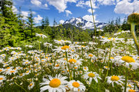 Chamomile meadow