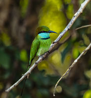 Yala NP - Green Bee Eater