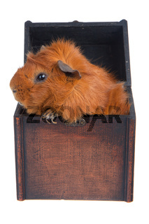 Guinea Pig in a box, isolated on white