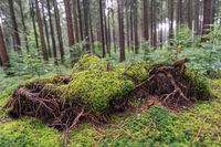 A mossy fallen tree in a green forest.
