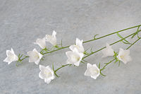 White bellflower (Campanula) lying on textured background