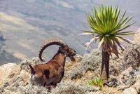 rare Walia ibex in Simien Mountains Ethiopia