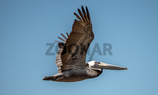 Pelican bird in flight over ocean under blue sky