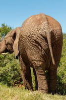 Elephant eating on a branch with his big back end