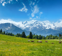 Herd cows on glade and Mont Blanc mountain massif