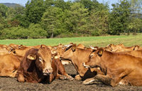 Cattle herd in a pasture