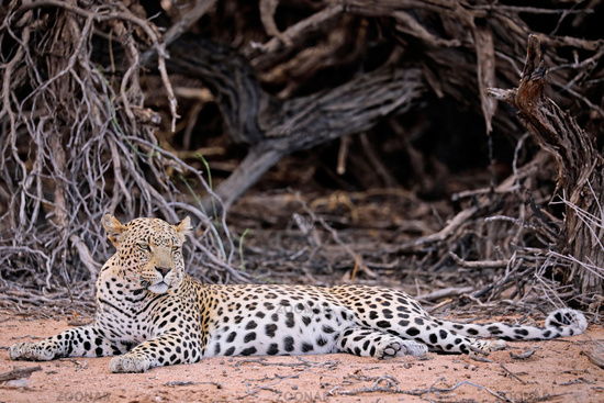 Leopard, Kgalagadi Transfrontier National Park, South Africa