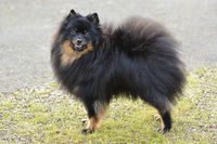 Miniature Spitz, brown/black