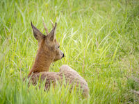 Young roebuck lying in the grass