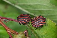 Striped bug