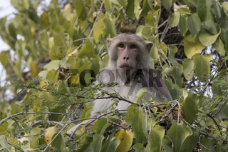 male rhesus macaque which sits in the tree crown and eats the fruits