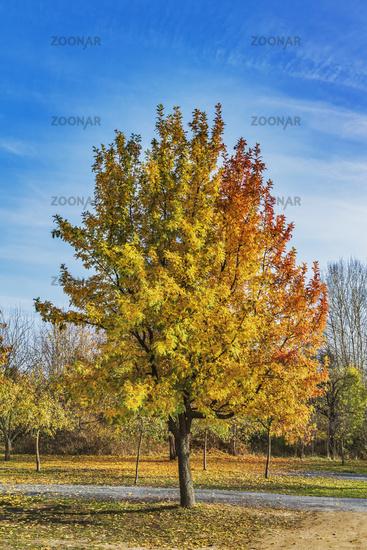 Esche im Herbst   ash tree in autumn