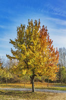 Esche im Herbst | ash tree in autumn