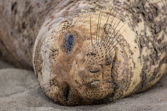 Northern Elephant Seal Resting on a California Beach