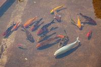 Koi fish pond at sunny day