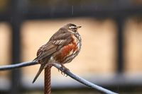 Redwing sitiin on a wire