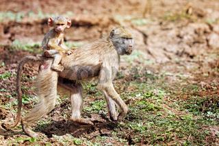 Steppenpaviane, South Luangwa Nationalpark, Sambia, (papio cynocephalus) | baboon, South Luangwa National Park, Zambia, (papio cynocephalus)