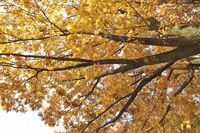 Quercus rubra, red oak