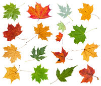set from various leaves of maple trees isolated