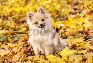 Portrait of spitz on a autumnal nature background.