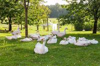 Geese in the garden of a farm