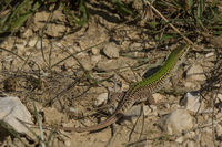 Male Dalmatian wall lizard