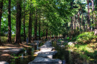 semiwon garden metasequoia trees